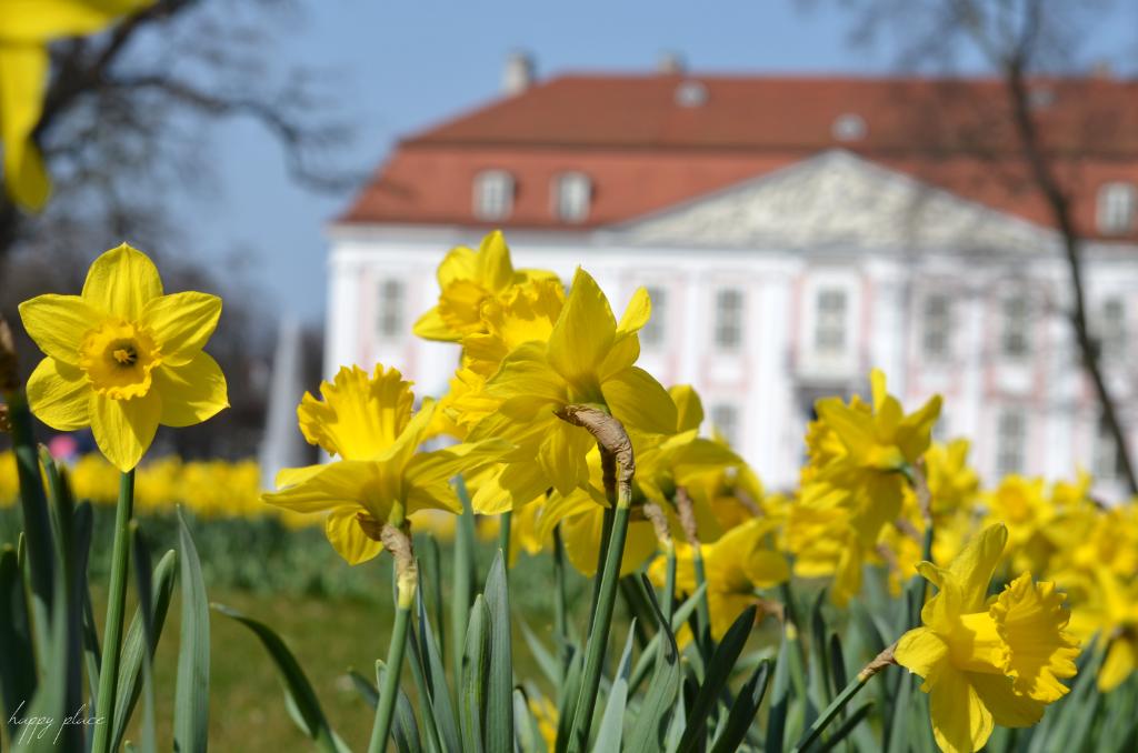 Daffodil in front of the castle in Berlin Friedrichsfelde
